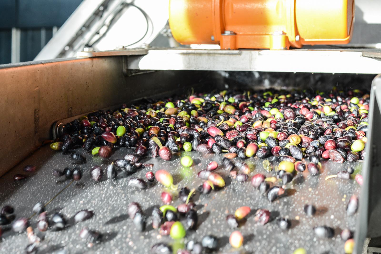 Rinçage des olives en sortie de lavage