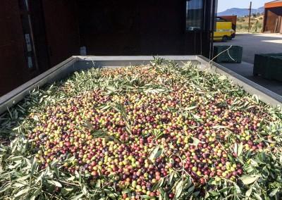 Nous possédons un système de tri automatique des olives et des éléments indésirables (feuilles, branches...)