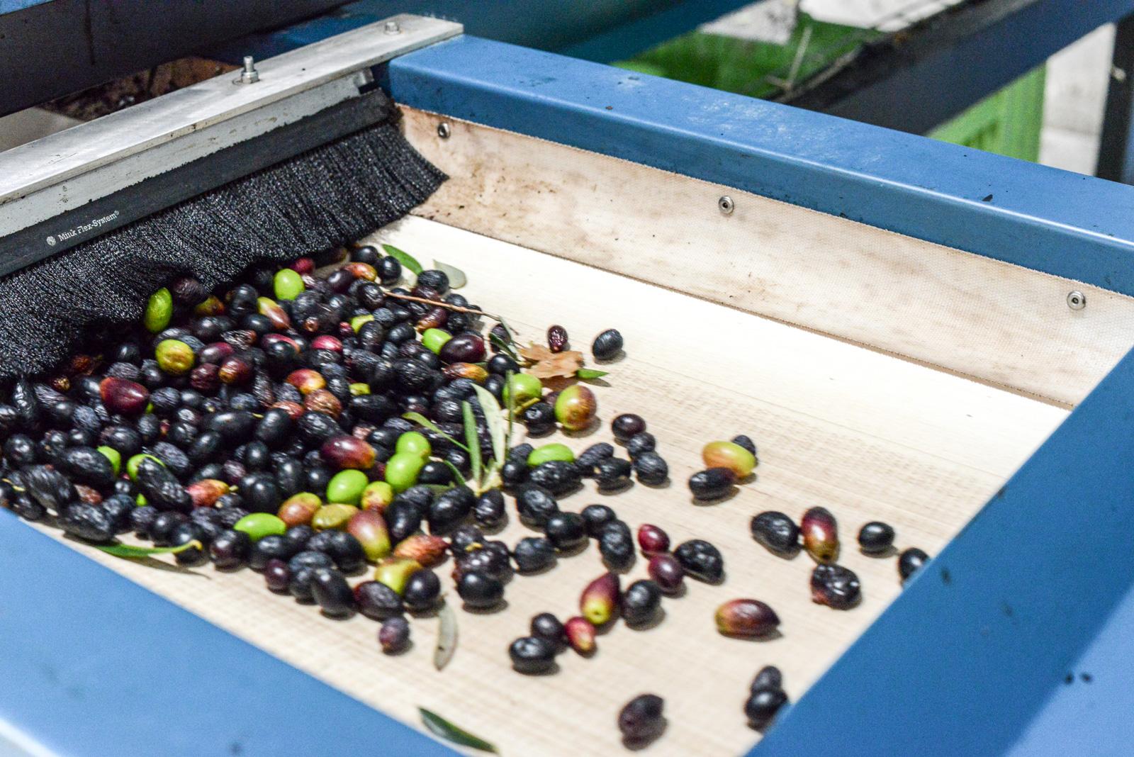 Effeuillage des olives