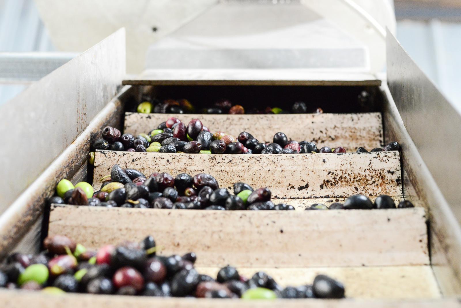 Tapis élévateur pour diriger les olives vers le système de lavage